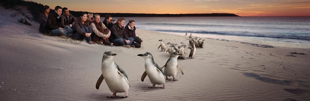How to Experience the Penguin Parade on Phillip Island